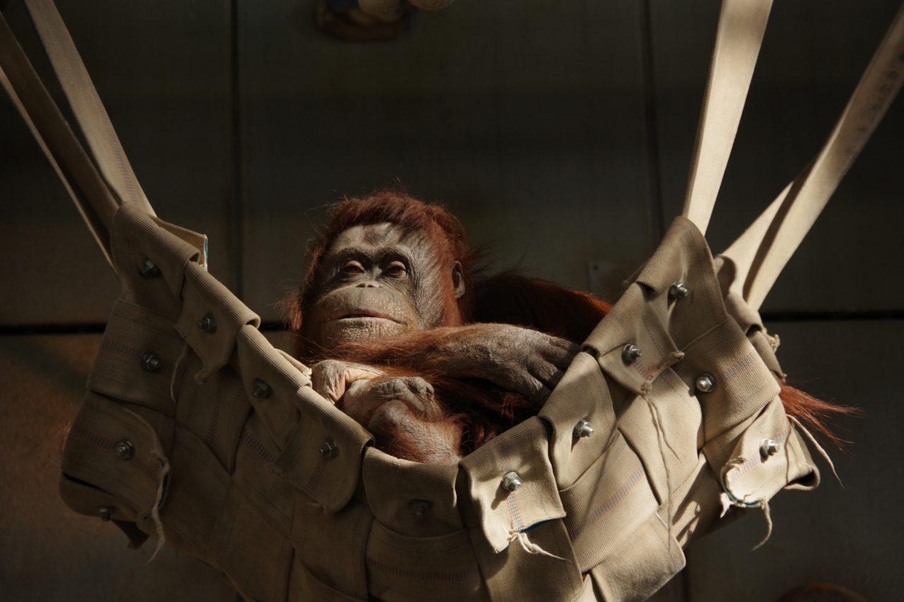 オラウータンが率いてチンパンジーが管理するオラウータンな組織